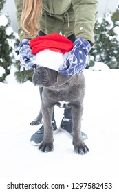 Cute cane corso puppy six month in santa hat outdoor sits winter girl put on