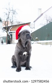 Cute cane corso puppy six month in santa hat outdoor sits winter