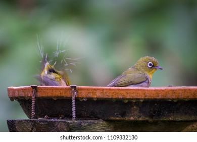 Cute Cape White-eyes (Zosterops virens) send water flying from a birdbath