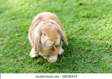 Cute caramel rabbit with a carrot in grass