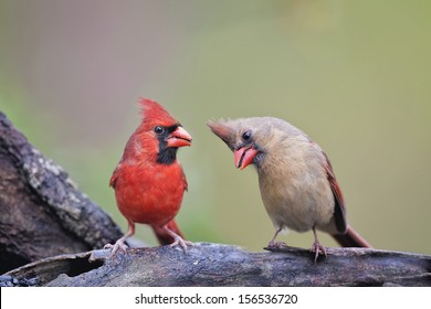 Cute Cardinal Couple