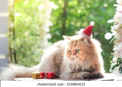 Cute cat , Golden cat Chinchilla in red christmas hats.