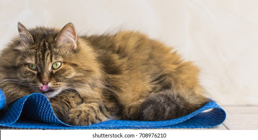 Cute cat licking lips lying on a blue carpet, siberian female with brown hair