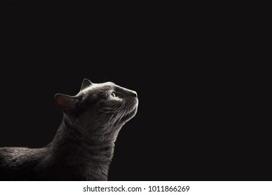 cute cat looking up sitting  on a black background lit from above