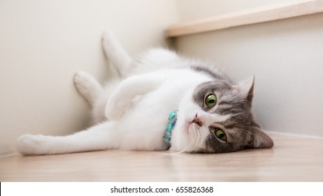 Cute cat lying on the wooden stairs, Scottish fold ears unfold golden eyes, white and gray  hair color. Soft tone.