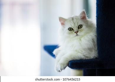 Cute Cat Persian Chinchilla