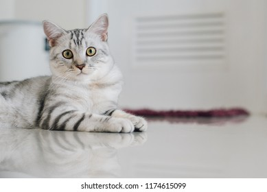 Cute cat portrait. American short hair cat looking at camera and posing in a home