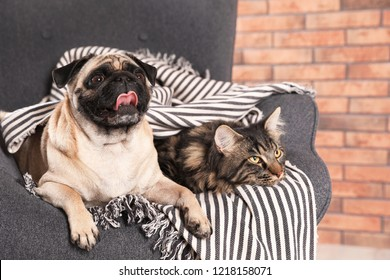 Cute cat and pug dog with blanket in armchair at home. Cozy winter