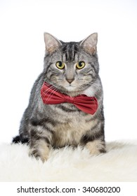 A cute cat with a red bow. The portrait is taken in a studio.