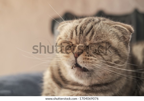 Cute cat Scottish Fold is about to sneeze, so she has a wrinkled nose and a funny muzzle.