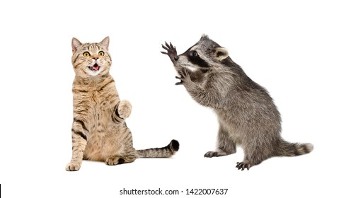 Cute cat Scottish Straight and  funny  raccoon playing together isolated on white background