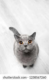 Cute cat sitting and looking up. Top view, purebred British shorthair cat.