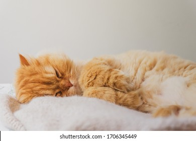 Cute Cat Sleeping and Relaxed Snuggling on the bed. Animal Friendly Concept. Golden Persian Cat Kitten Close up for Background. Relaxing Image.