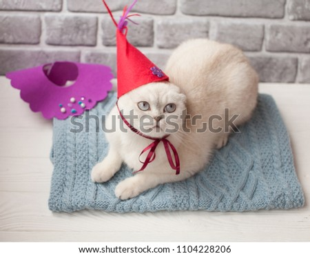 Cute Cat Wearing A Party Hat Relaxing On Table White Scottish Celebrate His
