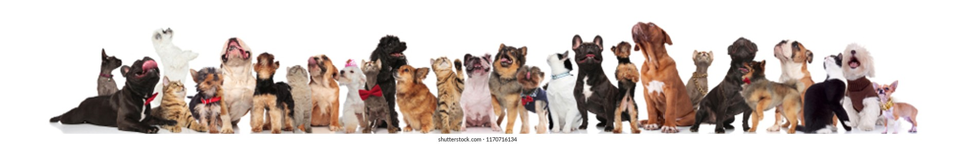 cute cats and dogs wearing bowties and collars look up while standing and sitting on white background