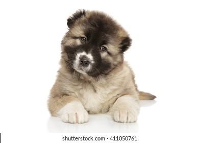 Cute Caucasian shepherd puppy on white background