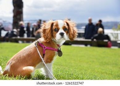 Cute Cavalier King Charles spaniel copper colored dog with harness and leash on green grass lawn.