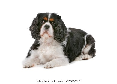 Cute Cavalier King Charles Spaniel dog looking at camera, on a white background