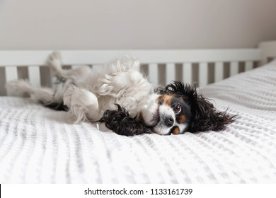 Cute cavalier spaniel fooling around on the bed