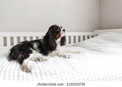 Cute cavalier spaniel lying on the bed