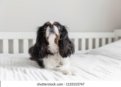 Cute cavalier spaniel lying on the bed and looking up