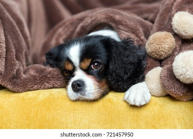 Cute cavalier spaniel relaxing on the sofa, under warm brown blanket