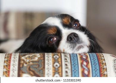 Cute cavalier spaniel rests his head on the armchair