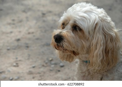 Cute Cavapoo / Cavoodle dog waiting patiently for its owner