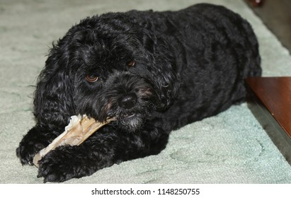 A cute Cavapoo dog also commonly known by the names Poodle  Cavalier Spaniel, Cavoodle and Cavoo eating a bone.
