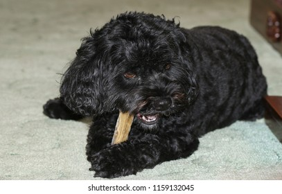 A cute Cavapoo dog also commonly known by the names Poodle x King Charles Cavalier Spaniel, Cavoodle and Cavoo eating a bone.