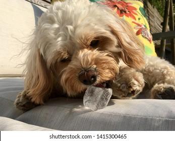 Cute Cavapoo Dog eating Ice Cube