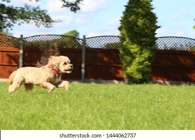 Cute cavapoo dog jumping while chasing a ball through a garden in sunny weather