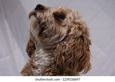 Cute cavapoo dog looking upwards against white background.