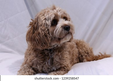 Cute cavapoo dog lying down against a white background.
