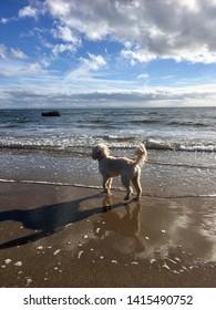 Cute Cavapoo Dog on Beach