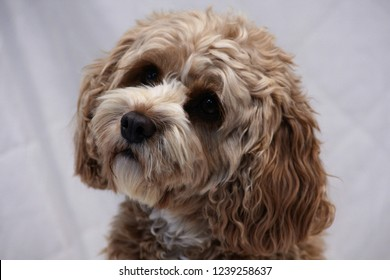Cute cavapoo dog tilting head inquisitively against a white background.