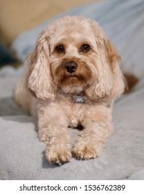 Cute Cavapoo Doggy Portrait with long fluffy ears adorable