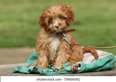 A cute Cavapoo puppy.