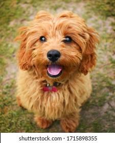 Cute Cavapoo puppy dog sitting