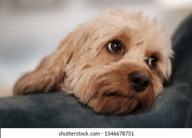 Cute Cavapoo Puppy Dog with Sweet Eyes