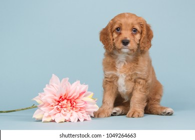 Cute cavapoo puppy sitting on a blue background near a pink flower