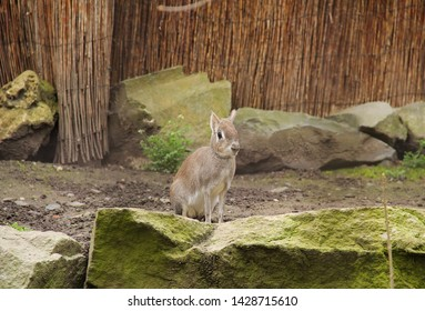 cute Chacoan mara (Dolichotis salinicola) living in captivity