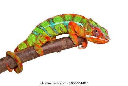 Cute Chameleon isolated on white background