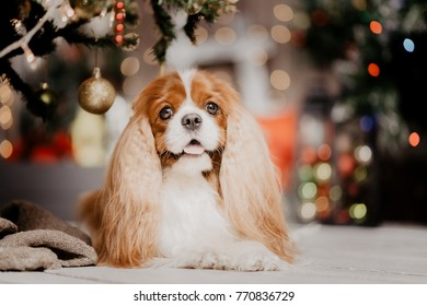Cute Charles King Spaniel laying under a Christmas tree looking at the camera