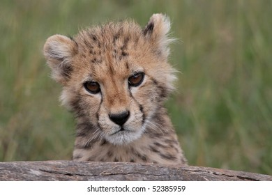 Cute cheetah cub peering inquisitively over a log