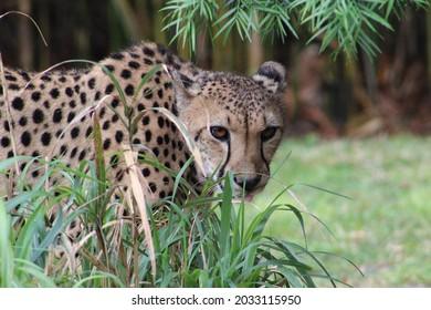 Cute cheetah stalking by plantlife