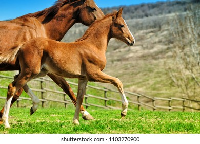 Cute chestnut foal  trotting near his mother