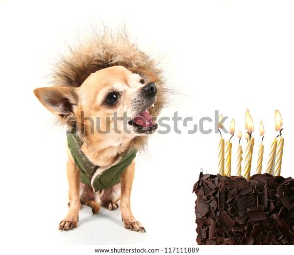 Awe Inspiring Cute Chihuahua Birthday Cake Jacket On Stock Photo Edit Now Funny Birthday Cards Online Unhofree Goldxyz