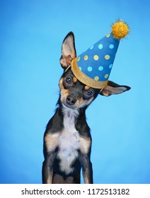 cute chihuahua with a birthday party hat on  isolated on a blue background