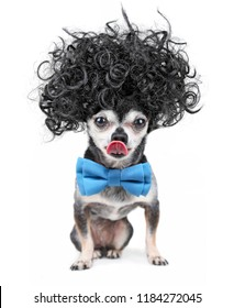 cute chihuahua in a black afro wig and blue bow tie licking his nose on an isolated white background
